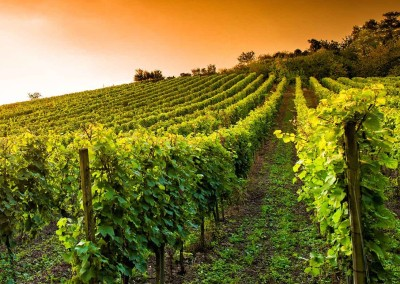Villa Lafage - vineyards - 1000x750